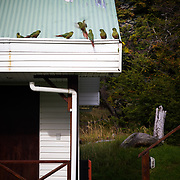 Austral Parakeets gather on the roof of a hotel at the entrance to Lago Grey in Torres del Paine National Park in the Patagonia region of Chile.