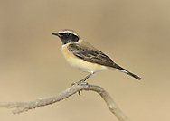 Black-eared Wheatear, eastern race - Oenanthe hispanica melanoleuca. Male, black-throated form.