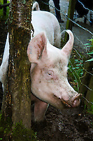 Animals, pig.<br />