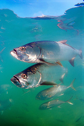 tarpons, Megalops atlanticus, .and crevalle jacks, Caranx hippos, .Islamorada, Florida Keys National .Marine Sanctuary (Atlantic)