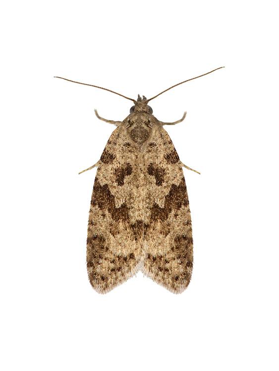 49.055 (1018)<br /> Cnephasia communana