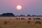 Elephants (Loxodonda africana) and common zebras (Equus quagga) at sunset, Chobe National Park, Botswana.