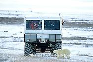 01874-089.07 Polar Bear (Ursus maritimus) near Tundra Buggy  Churchill  MB