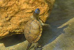 Europese moerasschildpad, Emys orbicularis