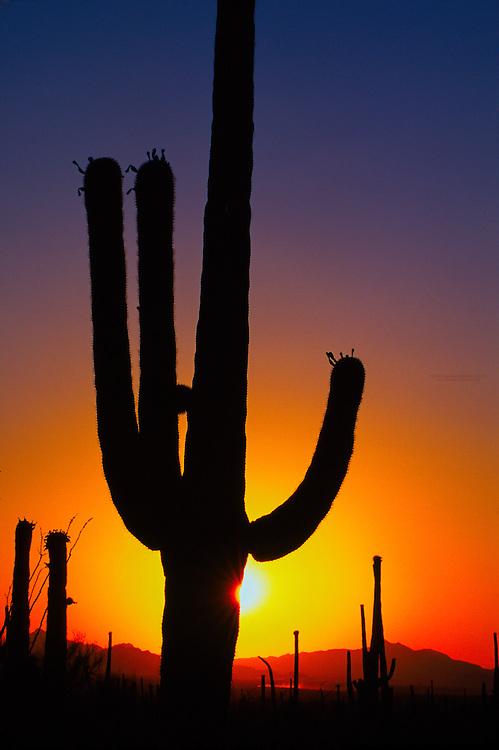 Saguaro Cactus, Saguaro National Park, Tucson Mounain District, west of Tucson, Arizona