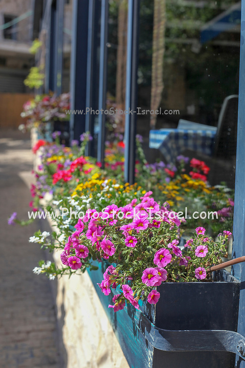 pink flowers in a Flowering window box. Photographed in Jaffa, Israel in May
