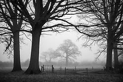 Trees in the morning mist, Rothley, Leicestershire, England.<br /> Photo: Ed Maynard<br /> 07976 239803<br /> www.edmaynard.com