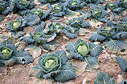 Field of cabbages
