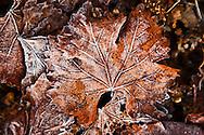 frozen grape leaf in a Howell Mountain vineyard. Napa Valley.