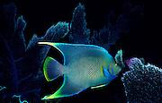 UNDERWATER MARINE LIFE CARIBBEAN, Fish; Blue Angelfish; Holacanthus bermudensis