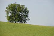 lone tree standing a colza field in the Languedoc Aude France