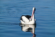 Cruising Pelican, Lake Macquarie, NSW, Australia