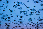 Thousands of American crows (Corvus brachyrhynchos) approach their nightly roosting location in Bothell, Washington. An estimated 16,000 crows use the roost each night in the fall and winter months. A long camera exposure captures the motion of the crows as they approach the roost.