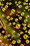 Dew drops cling to a Funnel Weaver Spider (Agelenidae) web spread over moss.
