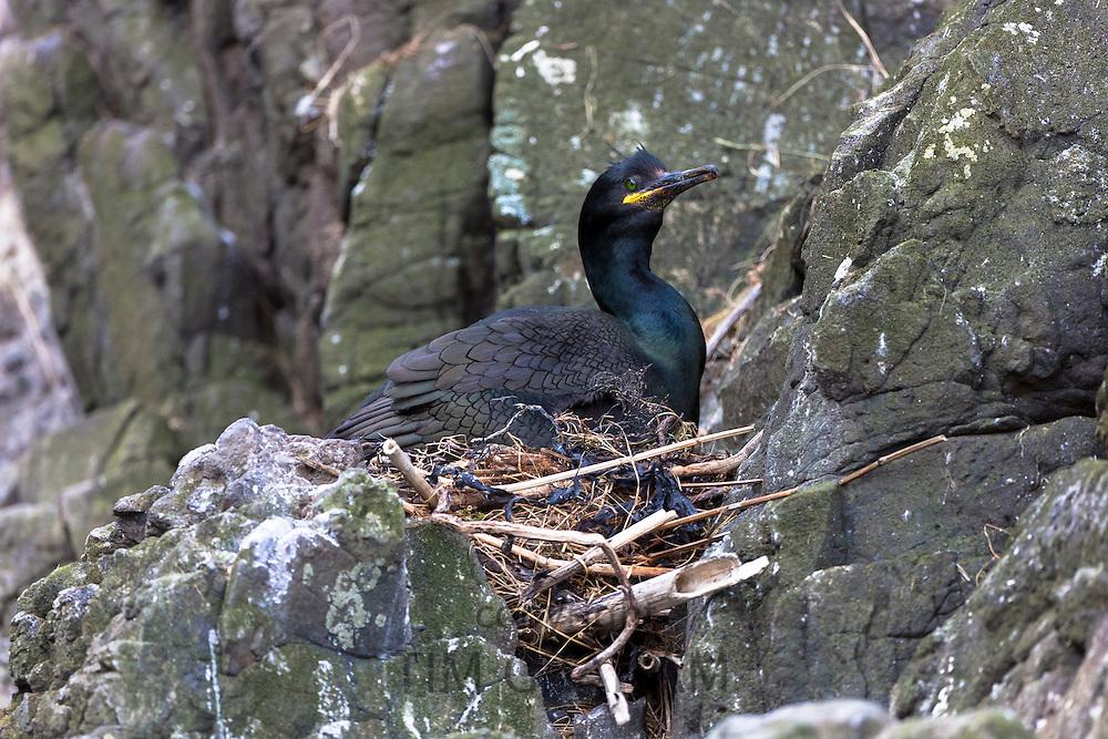 Shag coastal bird, Phalacrocorax aristotelis, nesting on rocks on Isle of Canna part of the Inner Hebrides and Western Isles in West Coast of Scotland