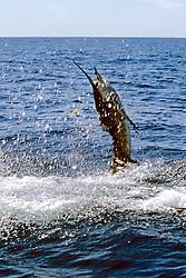 Sailfish On Fisherman's Line