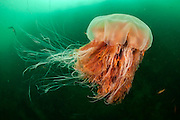 Lion's Mane Jellyfish, Cyanea capillata, swims in the dark green waters of Vancouver Island, British Columbia, Canada. This is the largest species of jellyfish. Image available as a premium quality aluminum print ready to hang.