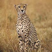 Cheetah, (Acinonyx jubatus) Portrait of adult. Serengeti Plains. Masai Mara Reserve. Kenya