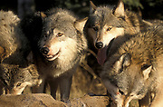 Timber or Grey Wolf, Canis Lupus, Minnesota USA, controlled situation, in autumn, winter, wolf pack on deer kill