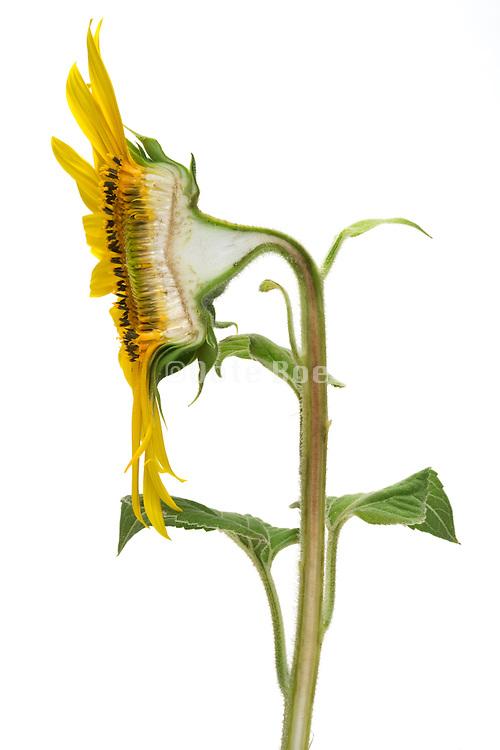 cross section of sunflower head