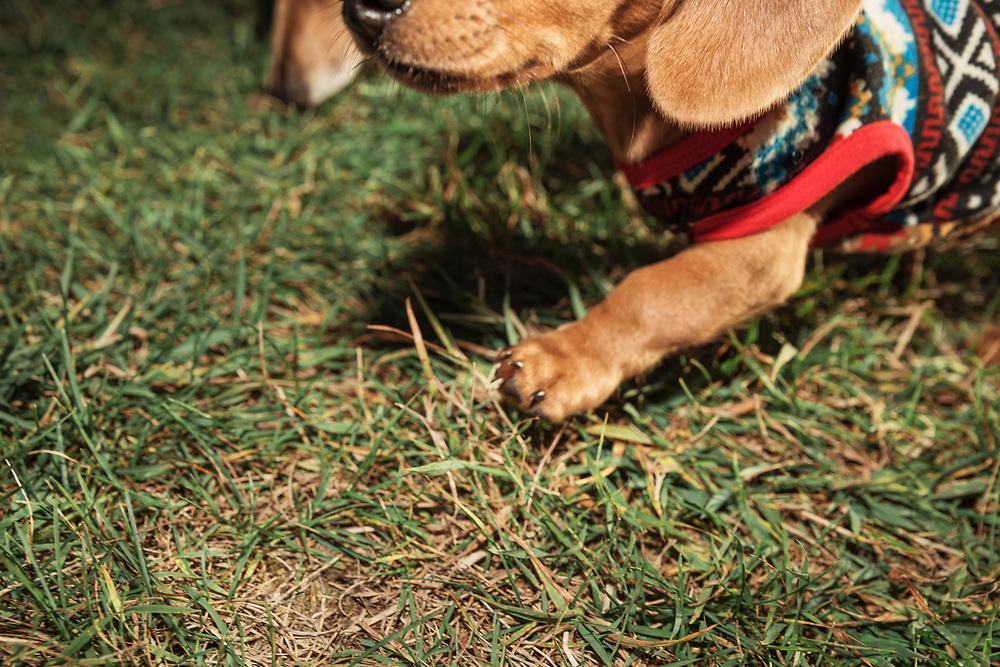 dachshund puppy closeup