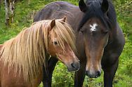 Horses on island in Kenmare Bay, County Kerry, Ireland