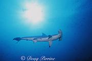 scalloped hammerhead shark, Sphyrna lewini, Galapagos Marine Reserve, Darwin Island, Galapagos Islands, Ecuador ( Eastern Pacific Ocean )