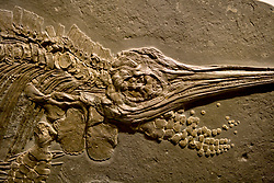 Stock photo of a fossilized  Ichthyosaur detail at the new Paleontology Hall at the Houston Museum of Natural Science