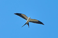 A swallow-tailed kite glides above the wetlands in rural Southwestern Florida just outside of Immokalee, Florida in search of snakes, lizards, frogs and other birds. This graceful flyer can swoop down quite suddenly to catch and kill its prey.