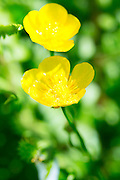 Buttercups, Ranunculus acris, in English hedgerow in summertime, UK