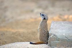 26.11.2013, Stuttgart, GER, Erdmaennchen, die Stuttgarter Wilhema, die Erdmaennchenanlage wird vergroessert, im Bild Erdmaennchen (Suricata suricatta) // Meerkats (Suricata suricatta) pups, Wilhelma, the meerkat in Stuttgart enlarge Stuttgart, Germany on 2013/11/26. EXPA Pictures © 2013, PhotoCredit: EXPA/ Eibner-Pressefoto/ Eibner-Pressefoto<br /> <br /> *****ATTENTION - OUT of GER*****