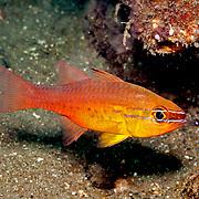 Goldbelly Cardinalfish shelter in branching corals. Picture taken Beangabang Bay, Pantar, Indonesia.
