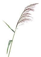 Common Reed - Phragmites communis