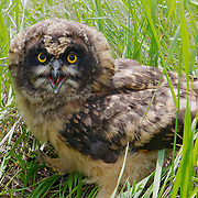 Short-eared owl (Asio flammeus) chick. Mission Valley, Montana