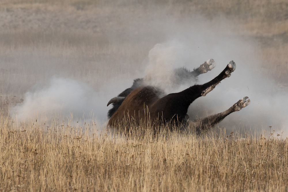 A bison rolls around in a wallow.