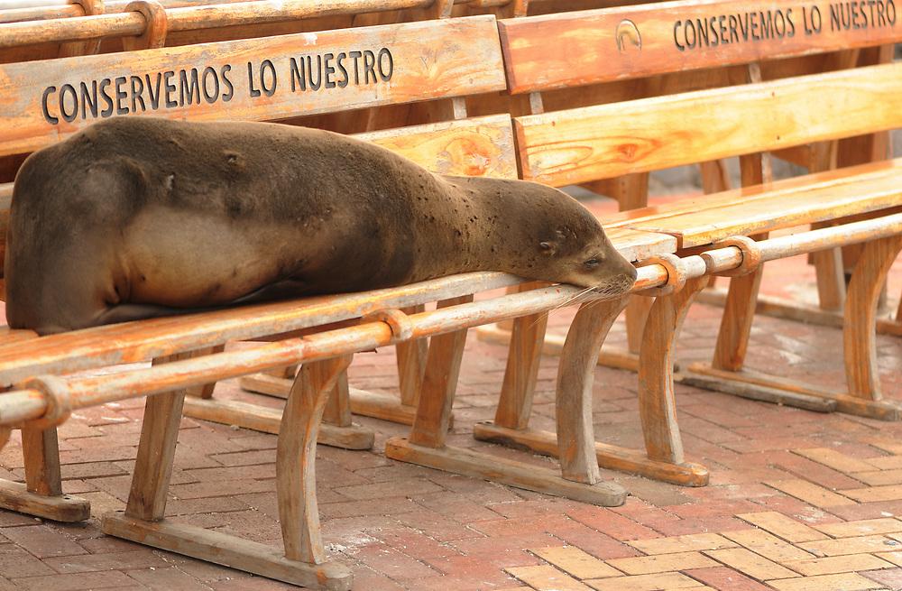 A Galápagos sea lion (Zalophus wollebaeki) sleeps on a shady bench with the inscription 'Conservemos Lo Nuestro', let us preserve that which is ours. Puerto Baquerizo Moreno, San Cristobal, Galapagos, Ecuador.