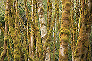 Moss covers Red Alder tree trunks in a decidious forest on the Kitsap Peninsula in Puget Sound, Washington, USA