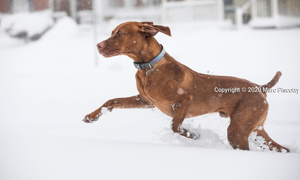 SHOT 3/14/21 4:21:40 PM - Risto, a year and half old male Vizsla, plays in the snow after a spring snowstorm at his home in Denver, Co. The Vizsla is a versatile, red-coated gundog built for long days in the field. For centuries, these rugged but elegant athletes have been the pride of Hungarian sportsmen and their popularity in America increases with each passing year. The Vizsla is a natural hunter endowed with an excellent nose and an outstanding trainability. It was bred to work in fields, forests, or bodies of water. Although they are lively, gentle-mannered, demonstrably affectionate and sensitive, they are also fearless and possess a well-developed protective instinct. (Photo by Marc Piscotty / © 2021)