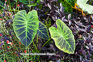 65821-00204 Imperial Taro (Alocasia 'Illustris'), Globe Amaranth (Gomphrena 'Redwood Creek'), and Alternanthera 'Purple Knight' Terrace Garden at Sarah P. Duke Gardens, Durham, NC