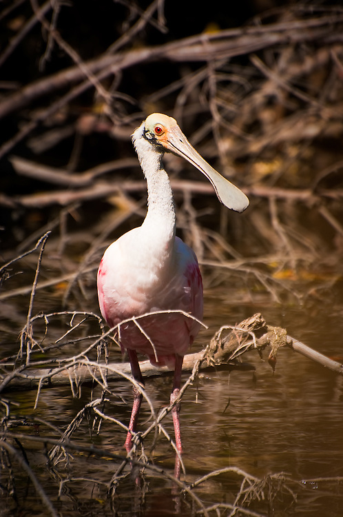 A young roseate spoonbill in the late afternoon Florida sun on Sanibel Island.