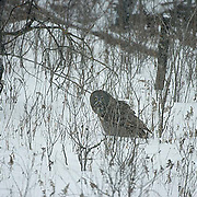 Great Gray Owl (Strix nebulosa) On snow covered ground looking for prey. Northern Minnesota. January. Winter.