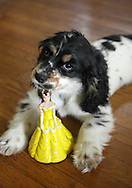Middletown, NY -  A Cavalier King Charles Spaniel puppy chews on a plastic doll on July 11, 2009.