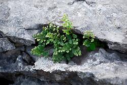Maidenhair fern growing amongst the rocks of the limestone pavement at the Burren, ireland. Adiantum capillus-veneris