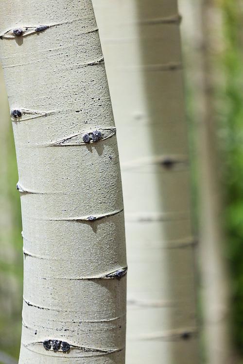 Detail of quaking aspen (Populus tremuloides) bark, Lost Creek Wilderness, Colorado.