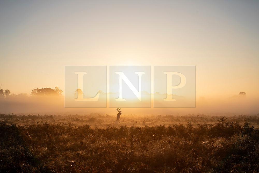 © Licensed to London News Pictures. 10/10/2018. London, UK. A stag silhouetted at sunrise in Bushy Park, south London. Forecasters are expecting unusually warm temperatures for October. Photo credit: Rob Pinney/LNP