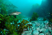 Grey nurse sharks (Carcharias taurus) in shallow rocky gutter, photographed off Broughton Island, New South Wales, Australia, Pacific Ocean.