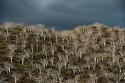 Palo Santo (Bursera graveolens)<br /> Tagus Cove <br /> Isabela<br /> Galapagos<br /> Ecuador, South America