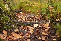 Fallen autumn birch tree leaves on sigle track trail of Kungsleden Trail, Lapland, Sweden
