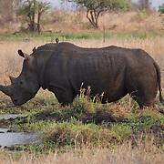 White Rhino, Londolozi Game Reserve, South Africa.