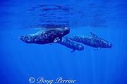short-finned pilot whales, Globicephala macrorhynchus, Kona, Hawaii ( Pacific Ocean )